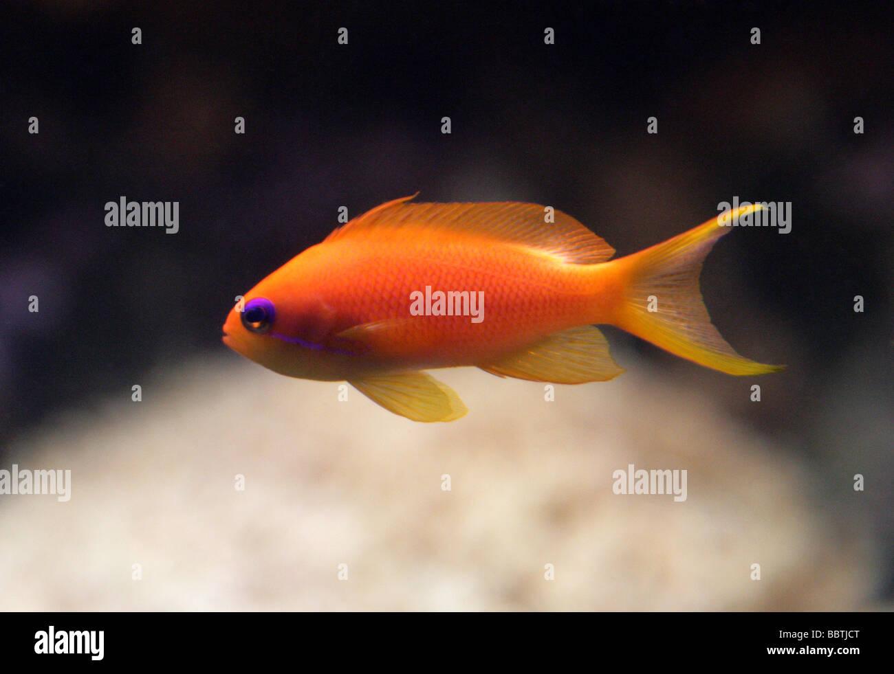 Sea Goldie, Lyretail Coralfish, Lyretail Anthias or Scalefin Anthia, Pseudanthias squamipinnis, Serranidae. - Stock Image
