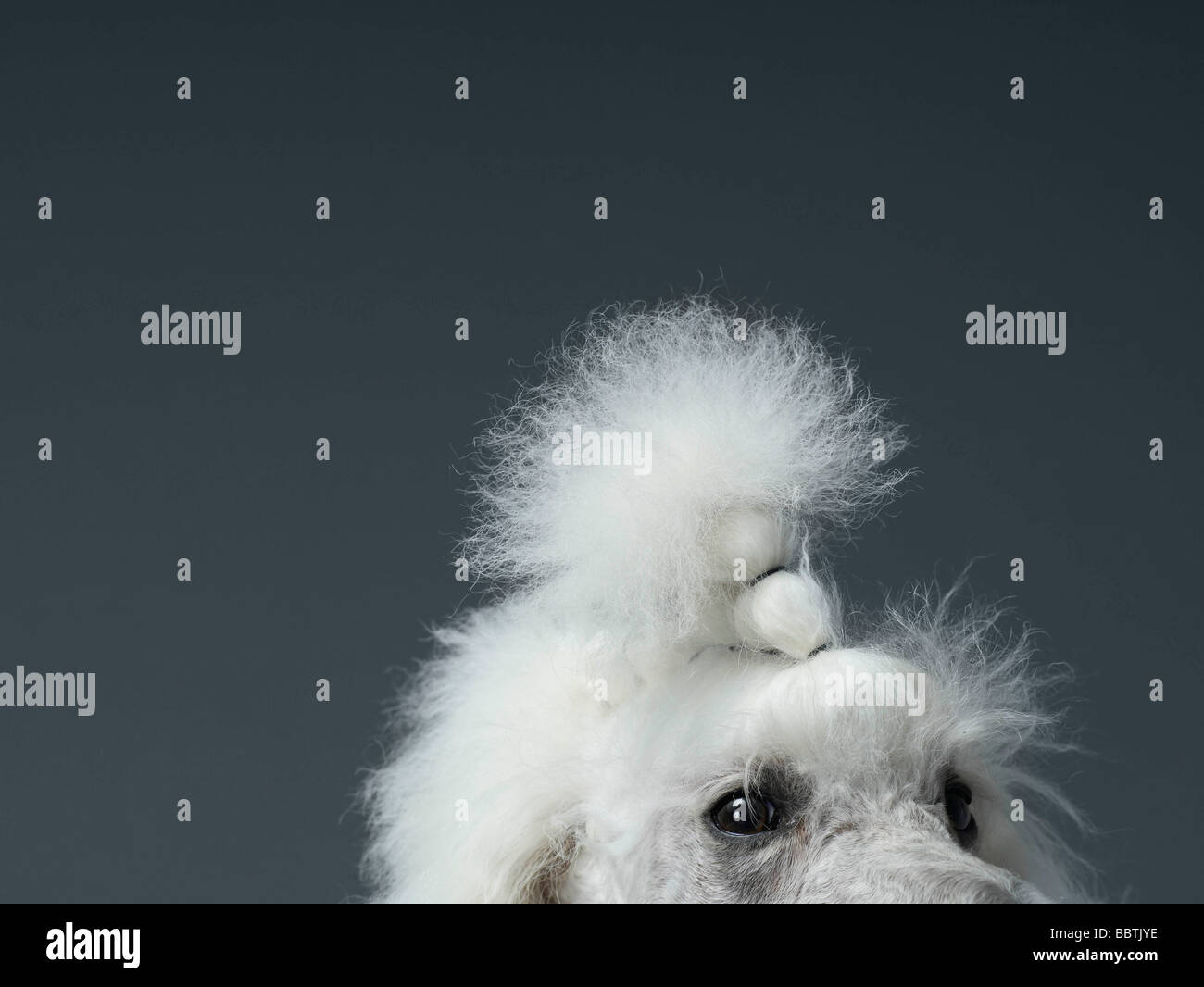 Close up on poodles eyes and forehead - Stock Image