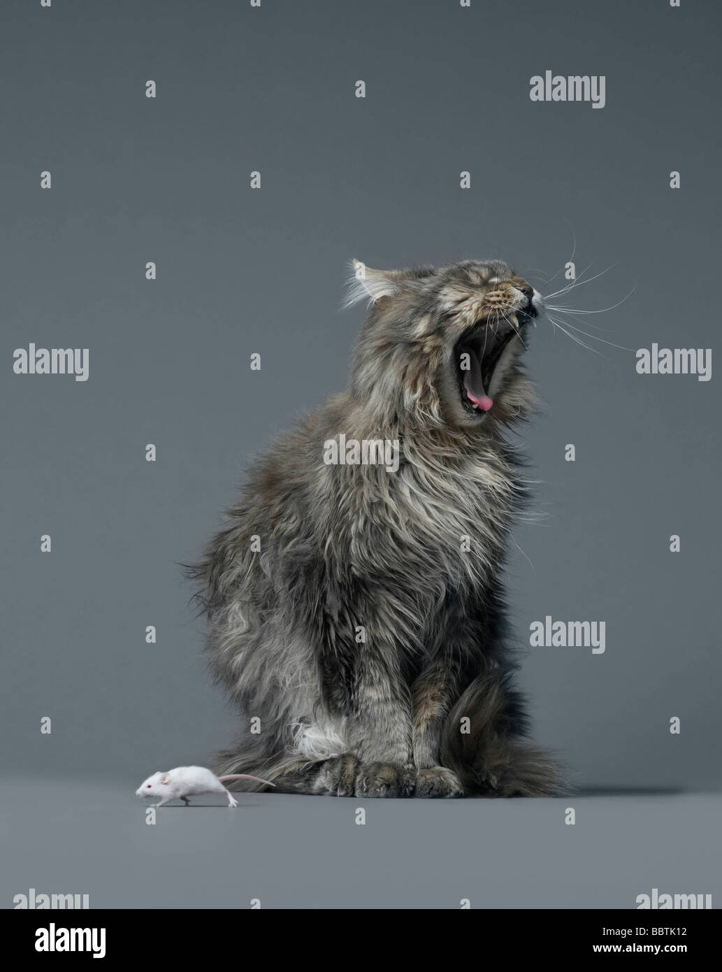 Mouse escaping yawning cat - Stock Image