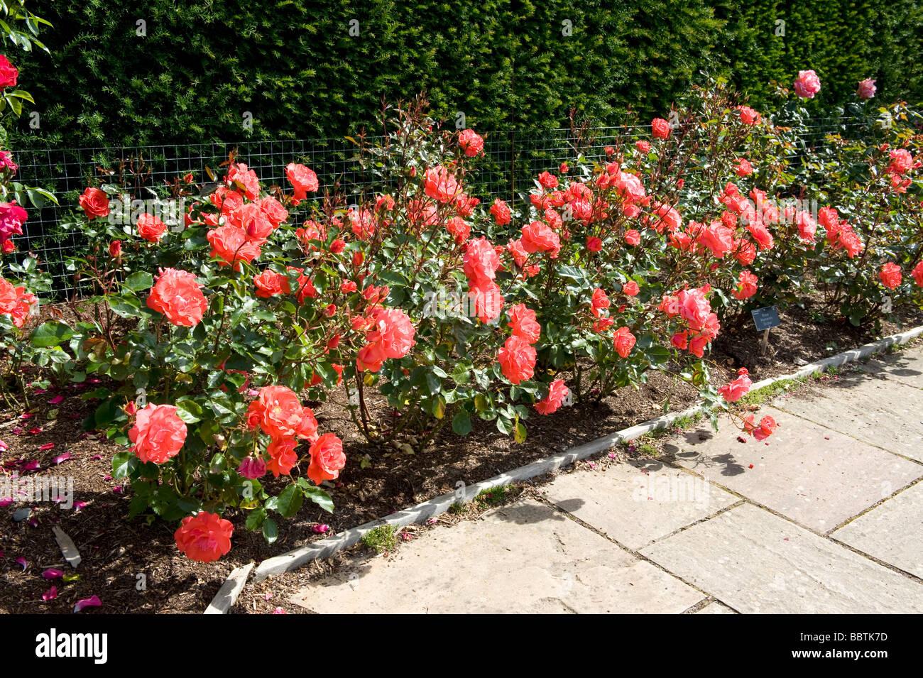 Rose Memento `Dicbar` - Stock Image