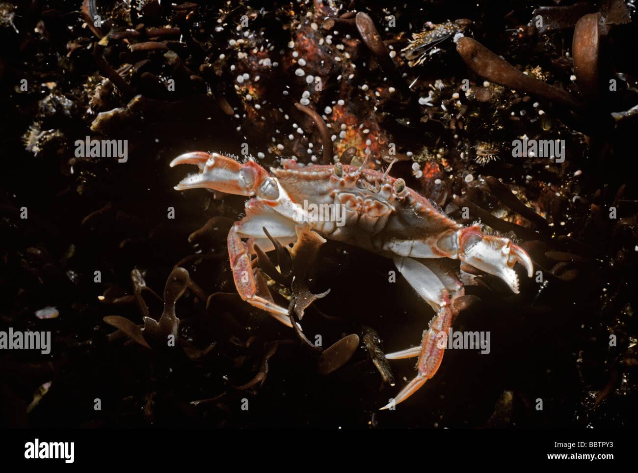 Rock Crab Cancer irroratus swimming New England North Atlantic Ocean Stock Photo