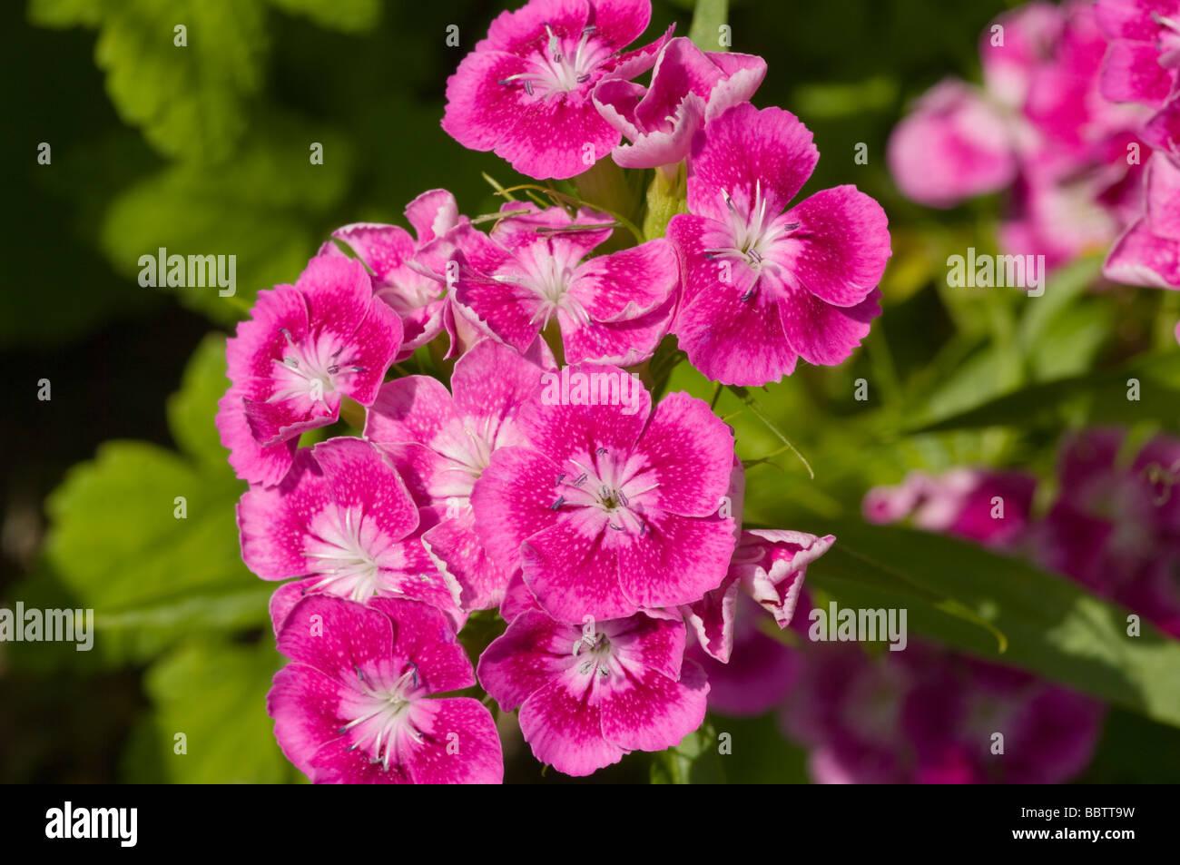 Sweet William Flowers Dianthus Barbatus - Stock Image
