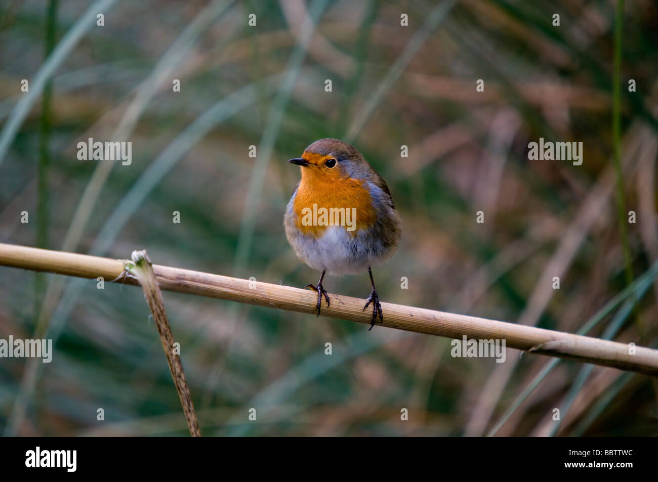 Robin On A Branch (Erithacus rubecula) - Stock Image