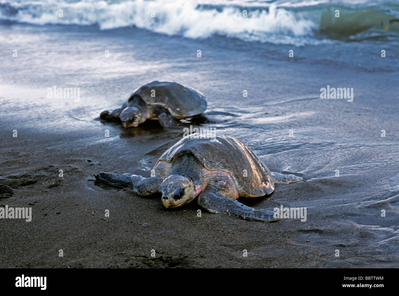 Arribada Arrival of Olive Ridley Turtles Lepidochelys olivacea to lay eggs Ostional Costa Rica - Stock Image