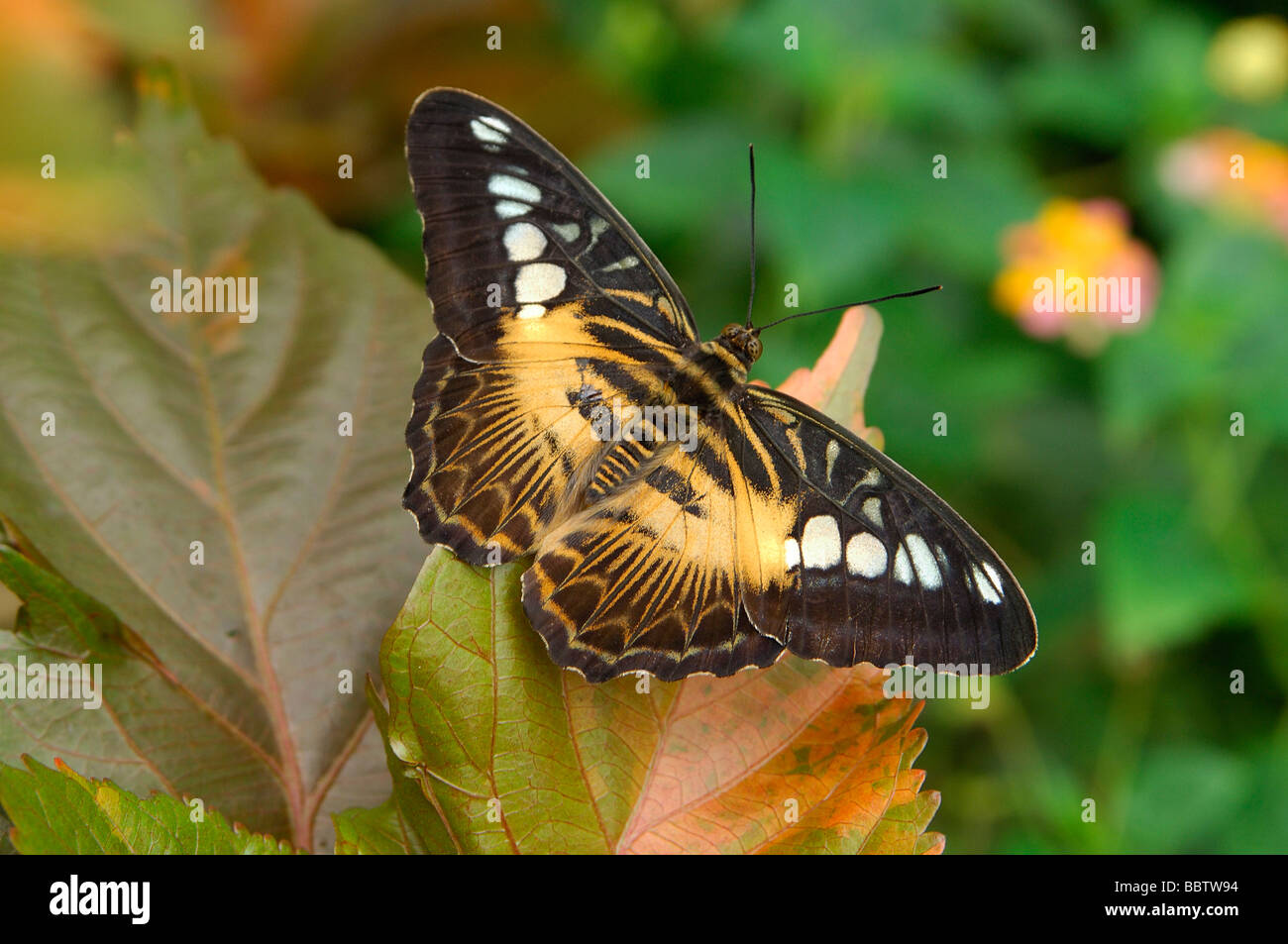 Tropical butterfly Brown Clipper Parthenos sylvia - Stock Image