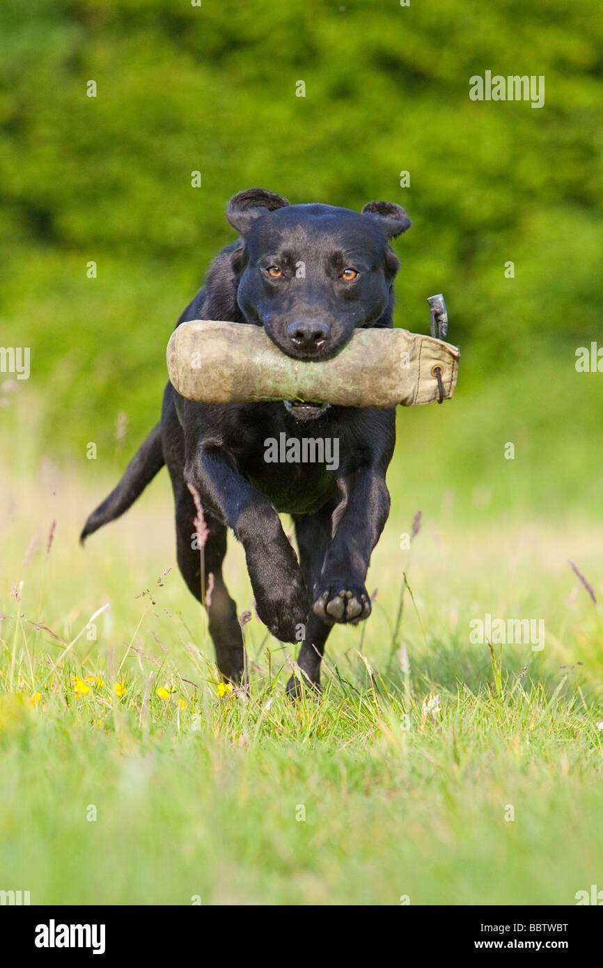 black labrador retriever working dog - Stock Image