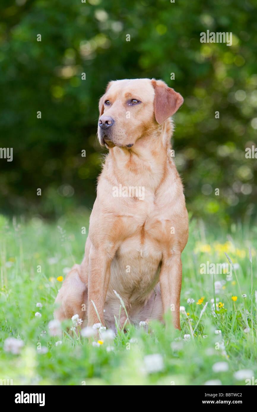 yellow labrador retriever working dog - Stock Image