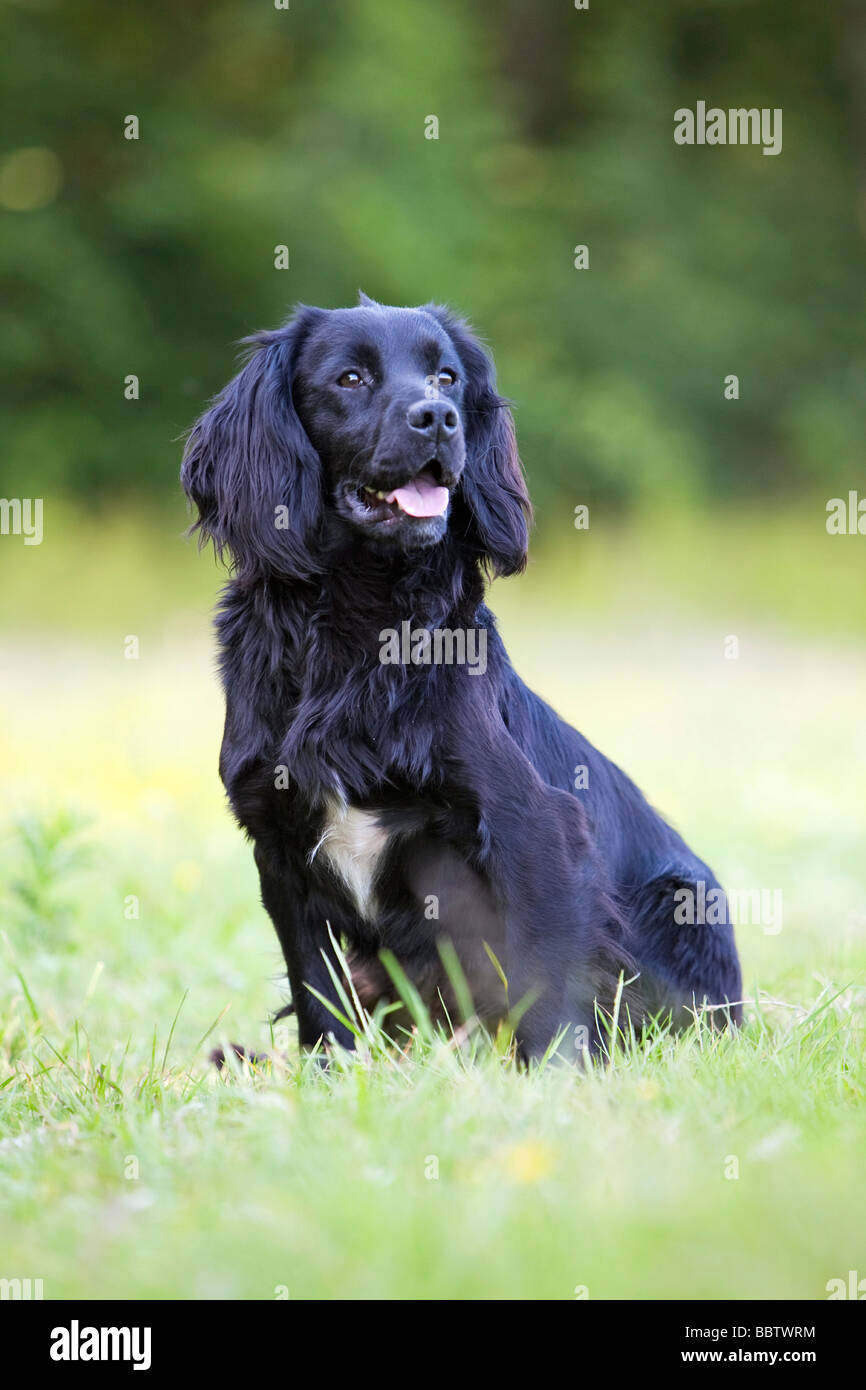black cocker spaniel working dog - Stock Image
