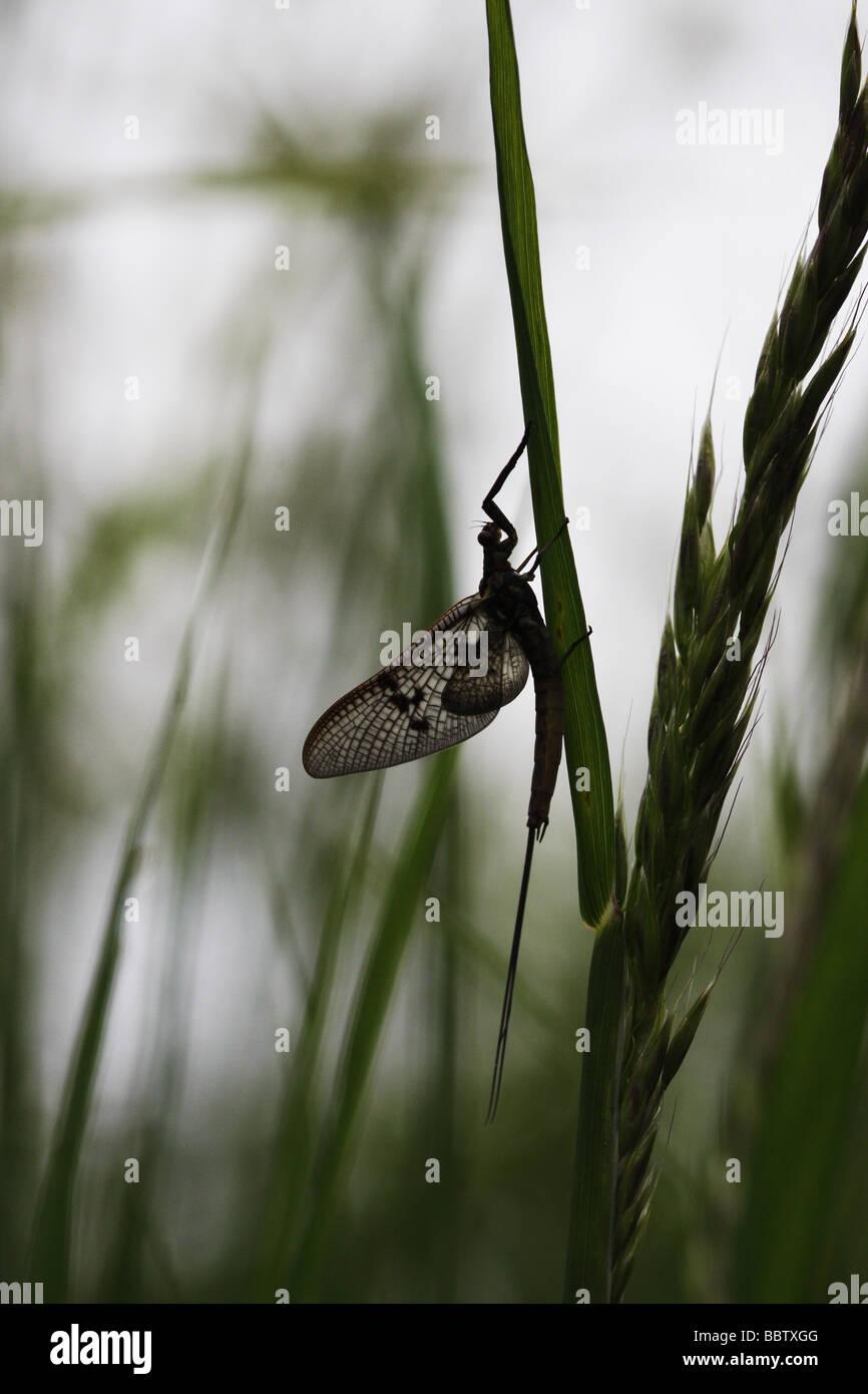 A common Mayfly ephemera vulgata resting in long grass - Stock Image