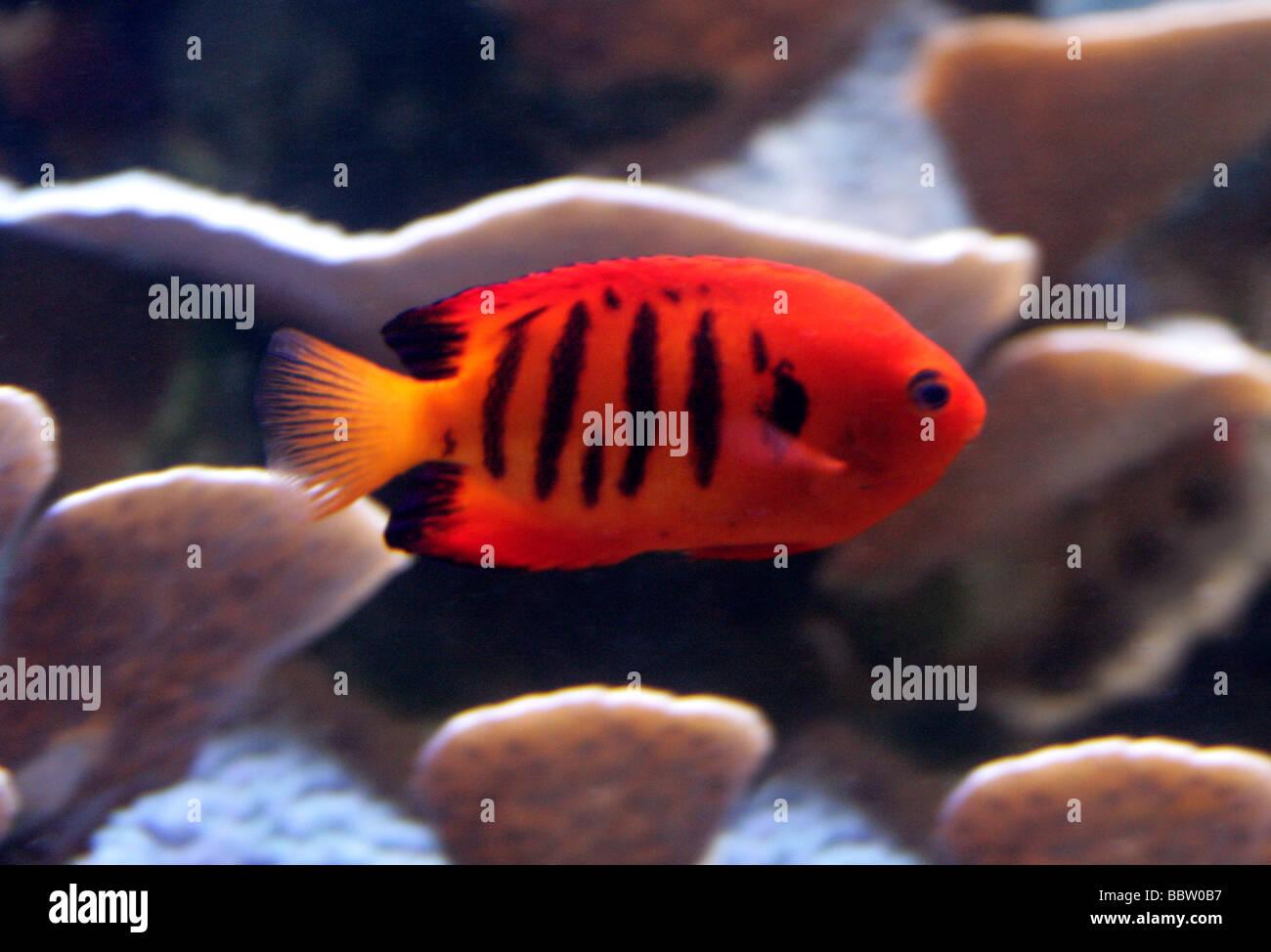 Black Angelfish Stock Photos & Black Angelfish Stock Images - Alamy