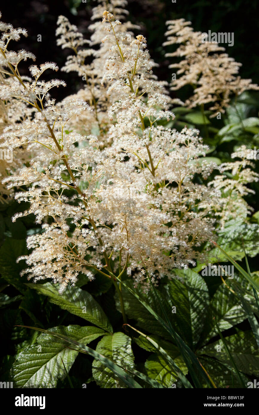 Aruncus sylvester goatsbeard rosaceae white with glossy shiny green leaves, dioicus - Stock Image