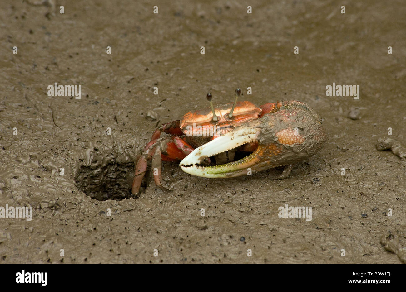 Male fiddler crab emerges from burrow at low tide in mangrove swamp in Mai Po Reserve Hong Kong Note large single - Stock Image