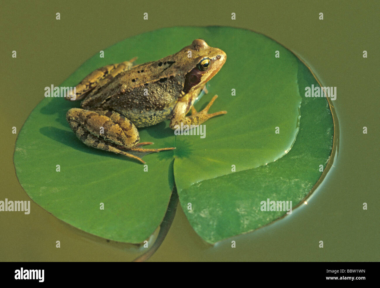 Common frog on lily pad Rana temporaria - Stock Image
