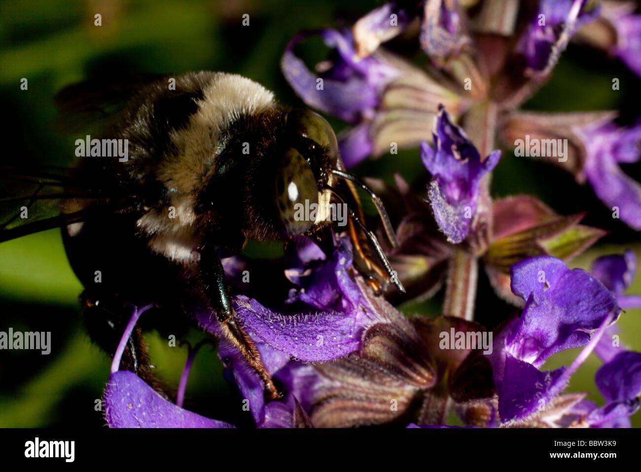 Bee Gathering Pollen On Silvia Flowers   Stock Image