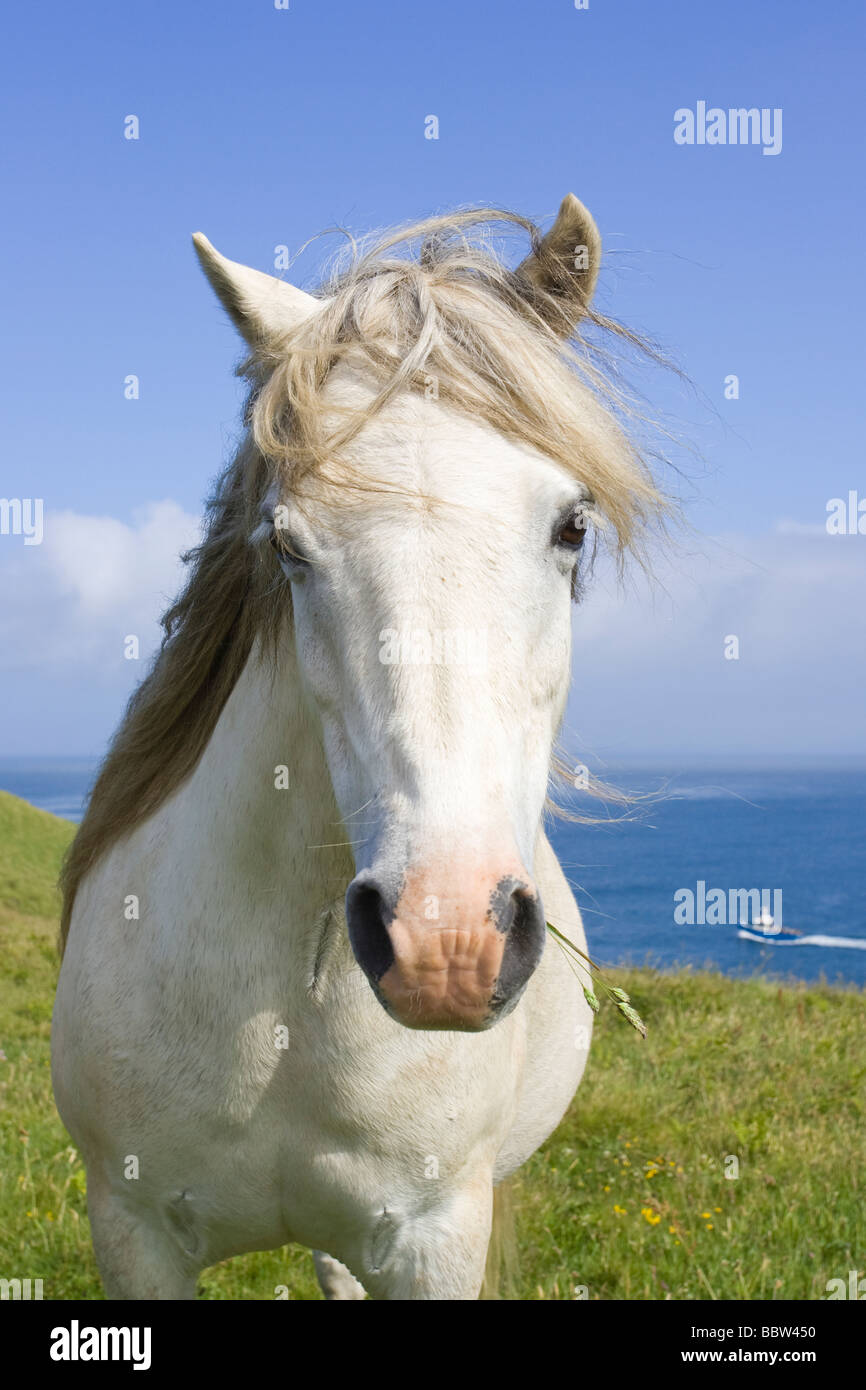 White stallion on a coastal meadow with a fishing boat in the background - Stock Image
