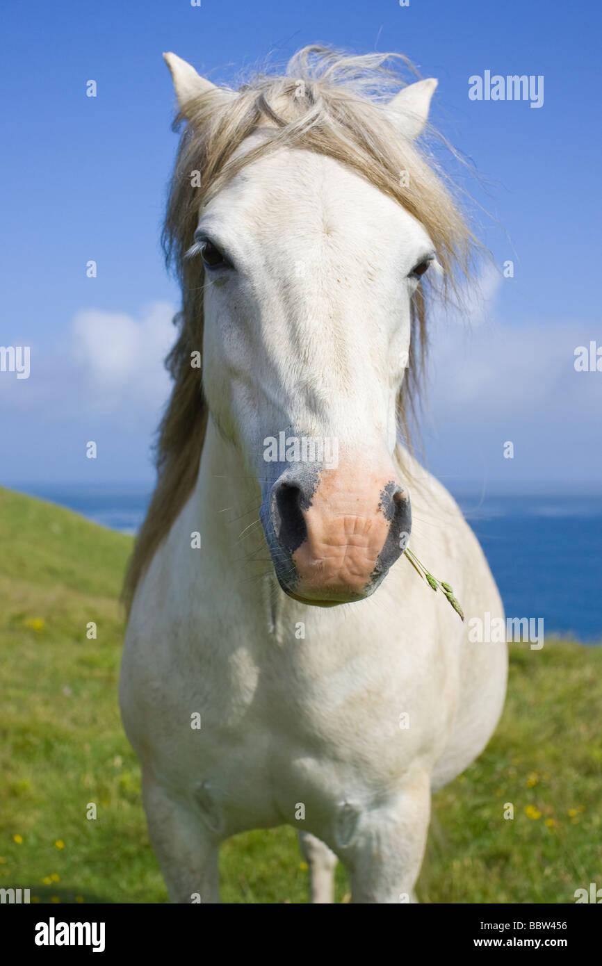 White stallion on a coastal meadow - Stock Image