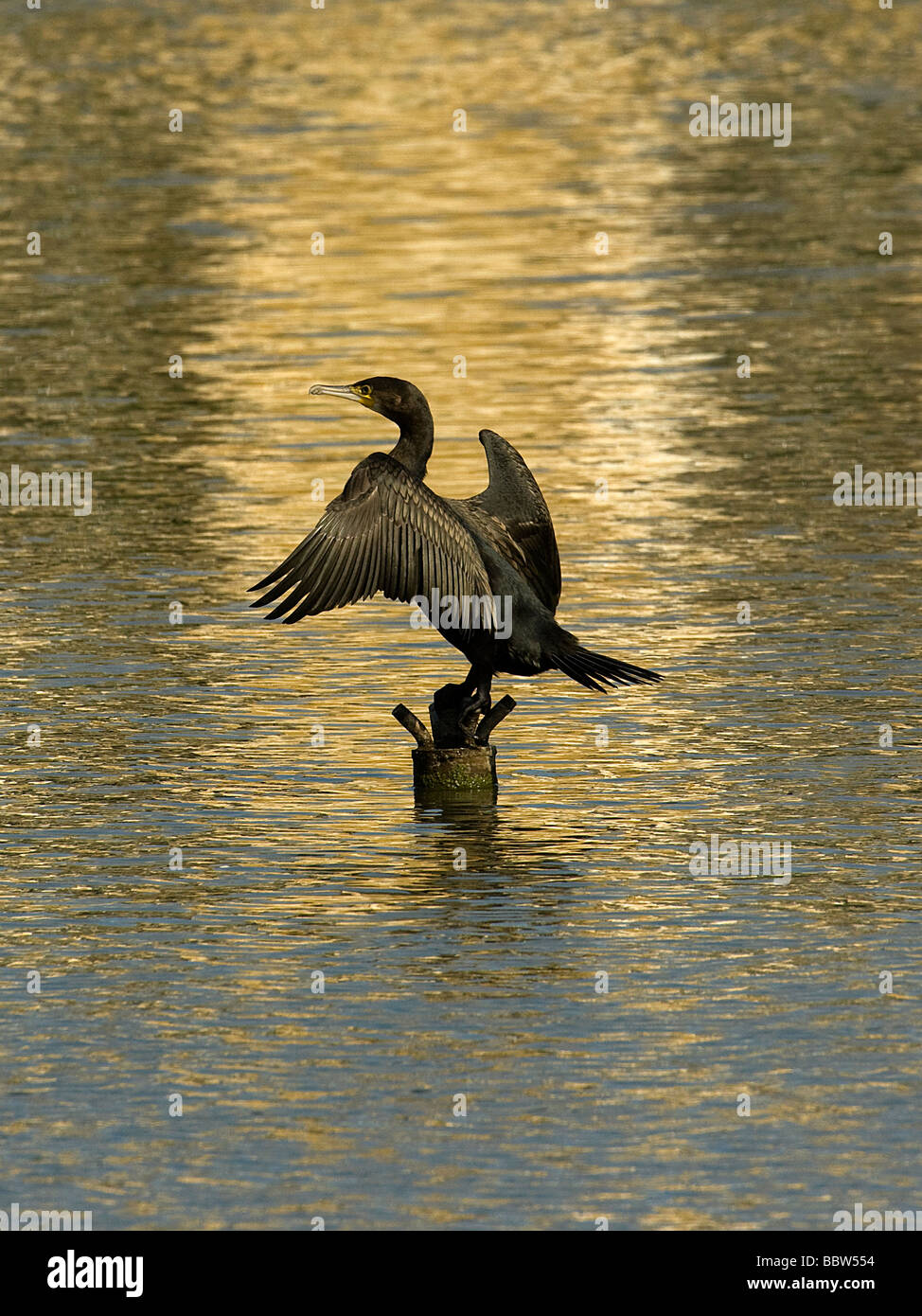 Cormorant Phalacrocorax carbo drying wings on fountain base in Palm House Pond Kew Gardens - Stock Image