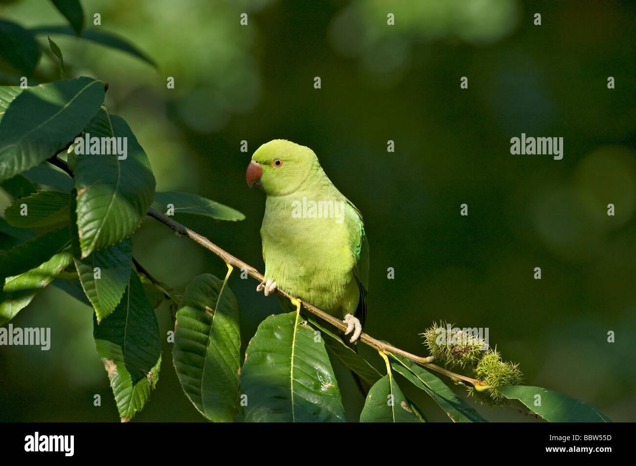 Ring necked parakeet Psittacula krameri perching in sweet chestnut Castanea sativa Stock Photo