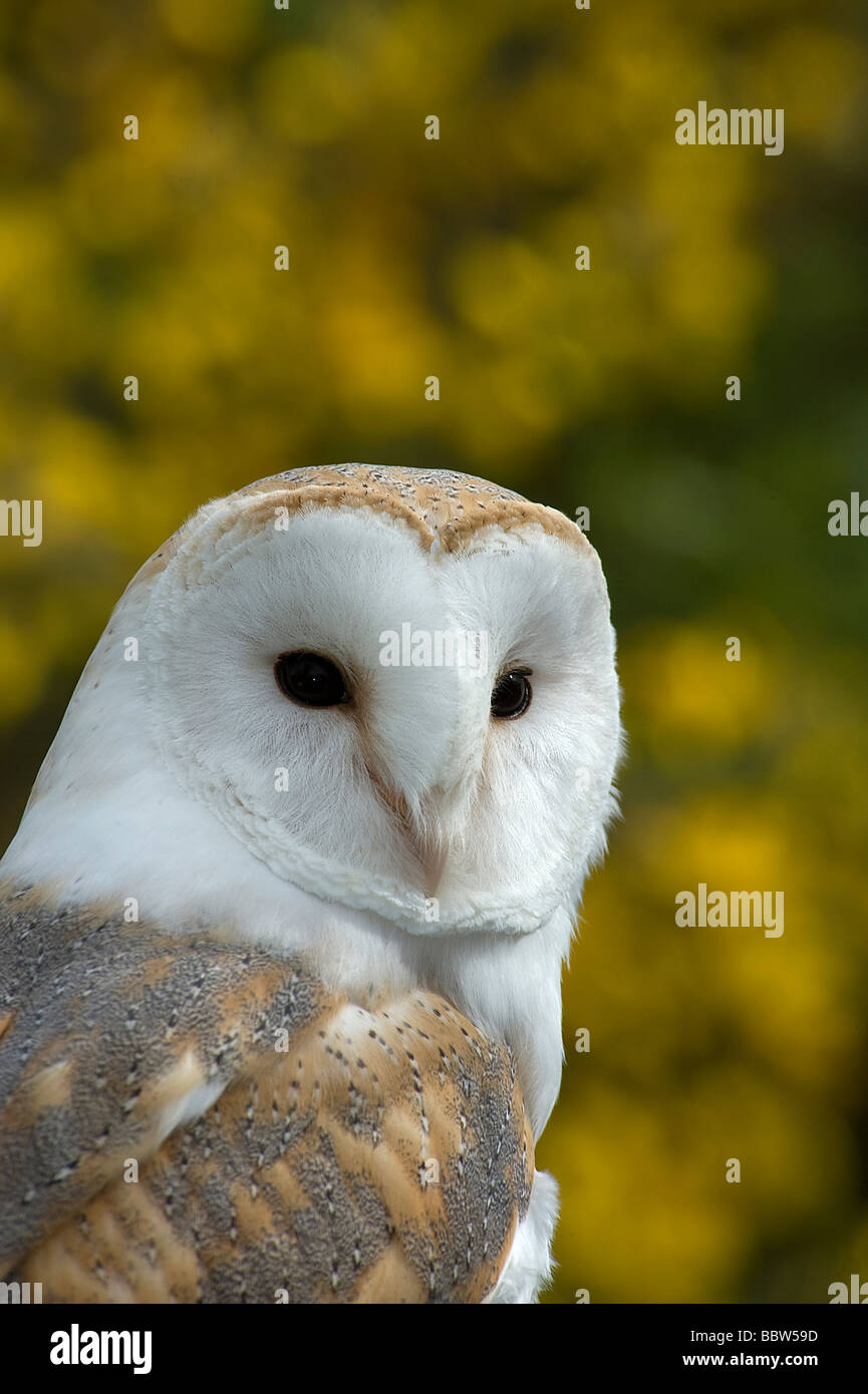 Barn owl Tyto alba with flowering gorse spring UK - Stock Image