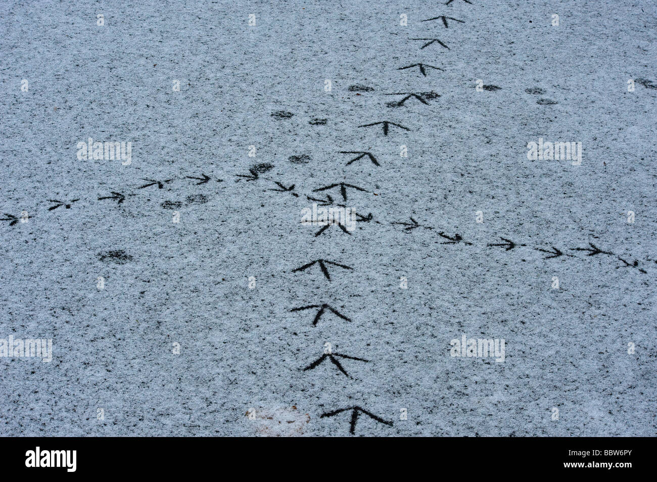 Crossroads where wildfowl tracks met on snow covered ice Stock Photo