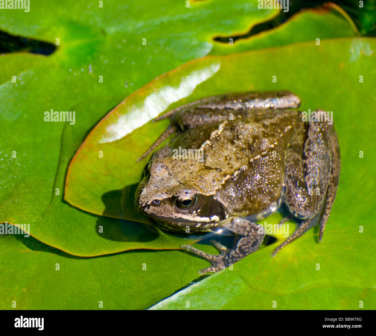 Common Frog (Rana temporaria) on Lily Pad in Garden Pond. Kent, UK - Stock Image