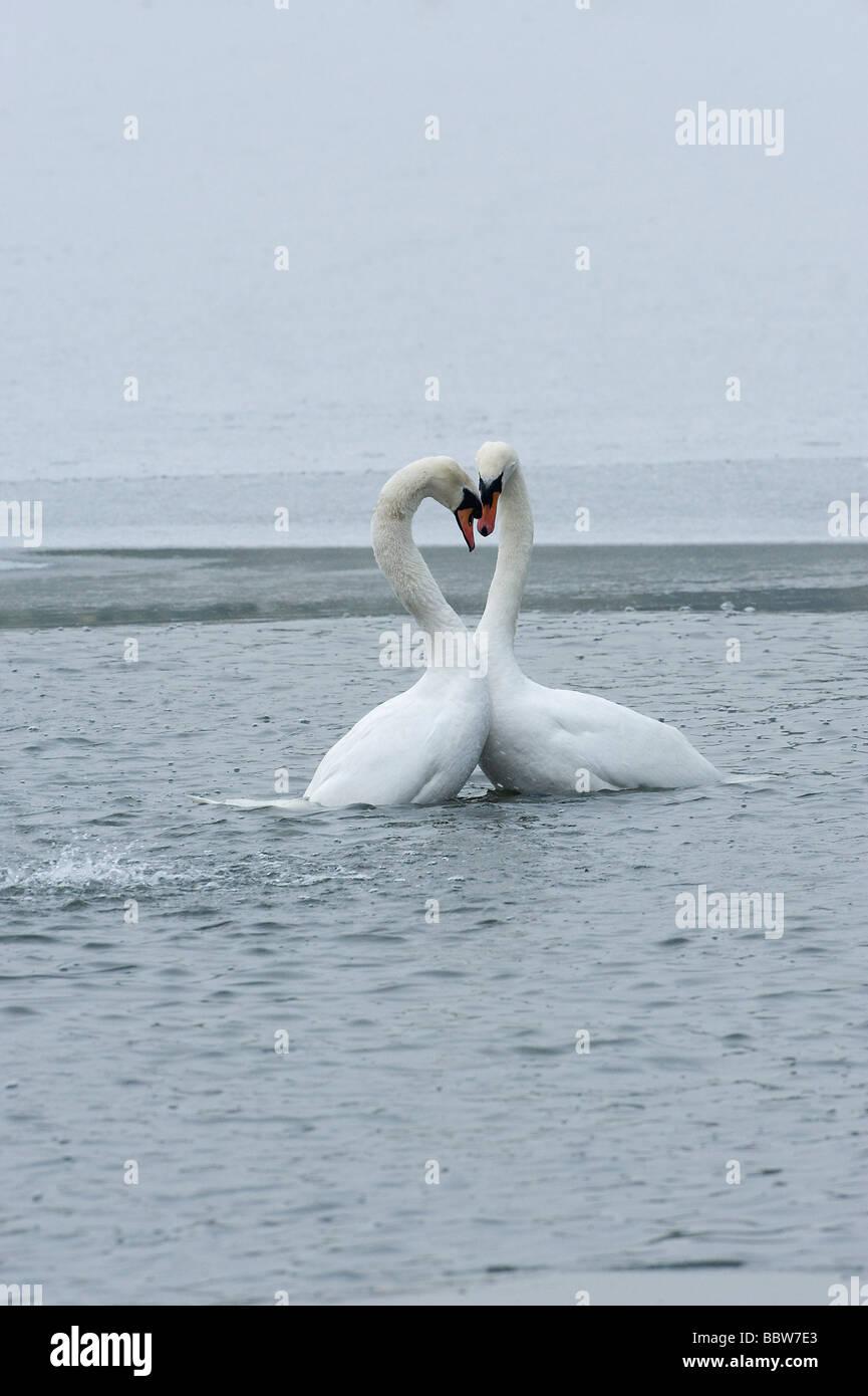 Mute swans Cygnus olor post mating - Stock Image