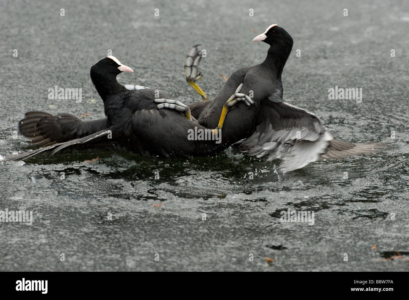 Coots Fulica atra fighting on ice Stock Photo