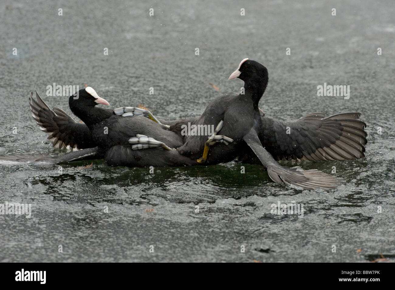 Coots Fulica atra fighting on ice in winter Stock Photo