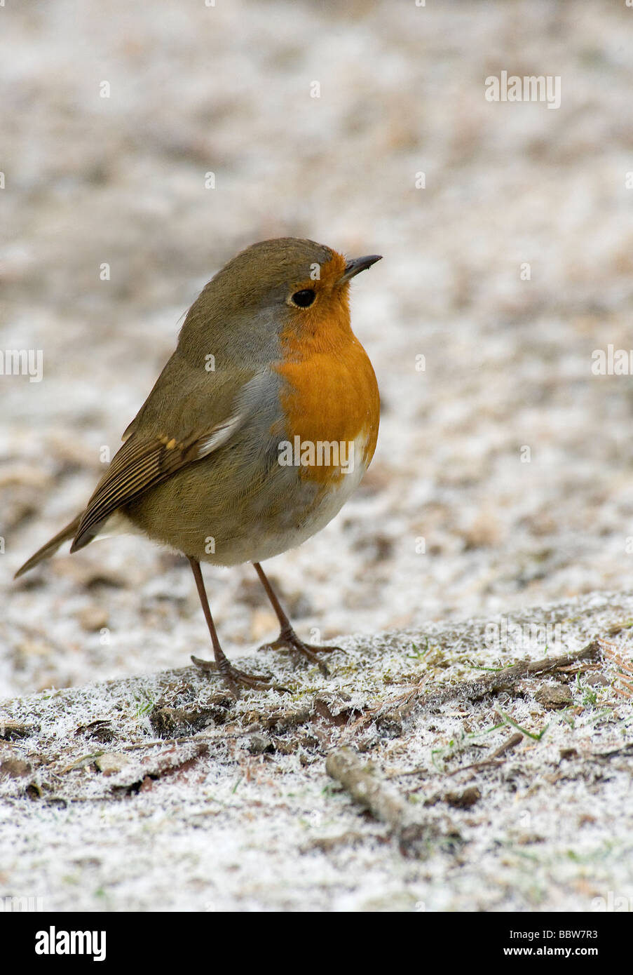 European robin Erithacus rubecula fluffed up on snow covered ground - Stock Image