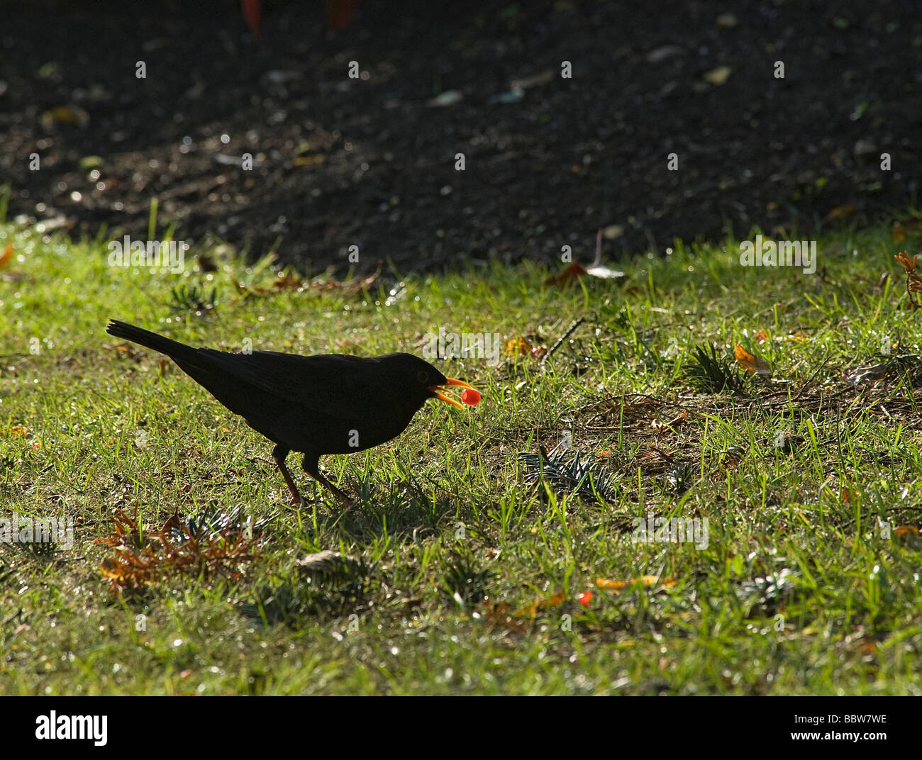 Male blackbird picking up fallen yew Taxus baccata aril early in the morning - Stock Image
