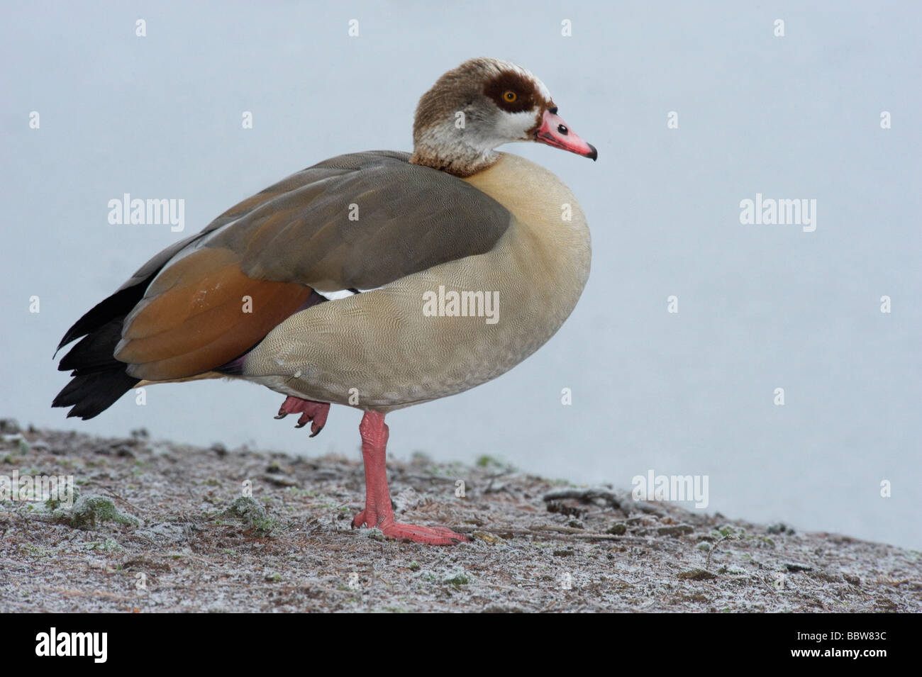 Egyptian goose Alopochen aegyptiacus stands on one leg in cold UK winter The ancient Egyptians regarded Egyptian - Stock Image