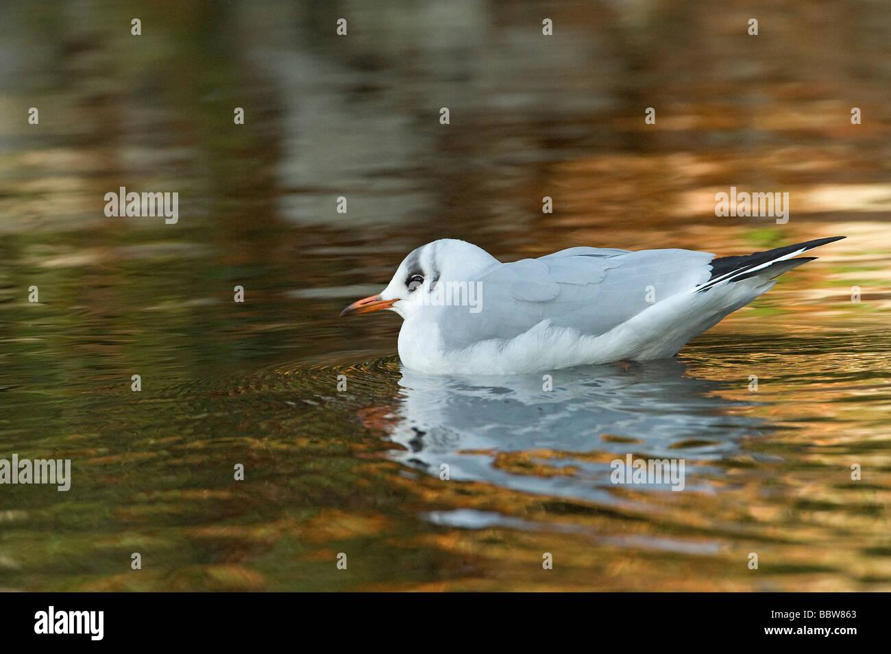 Black headed gull Larus ridibundus winter plumage adult swimming with reflection - Stock Image