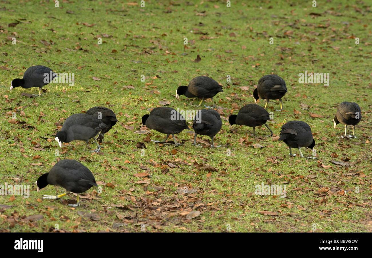 Coots Fulca atra feeding on lawn when Lake frozen at Kew Stock Photo