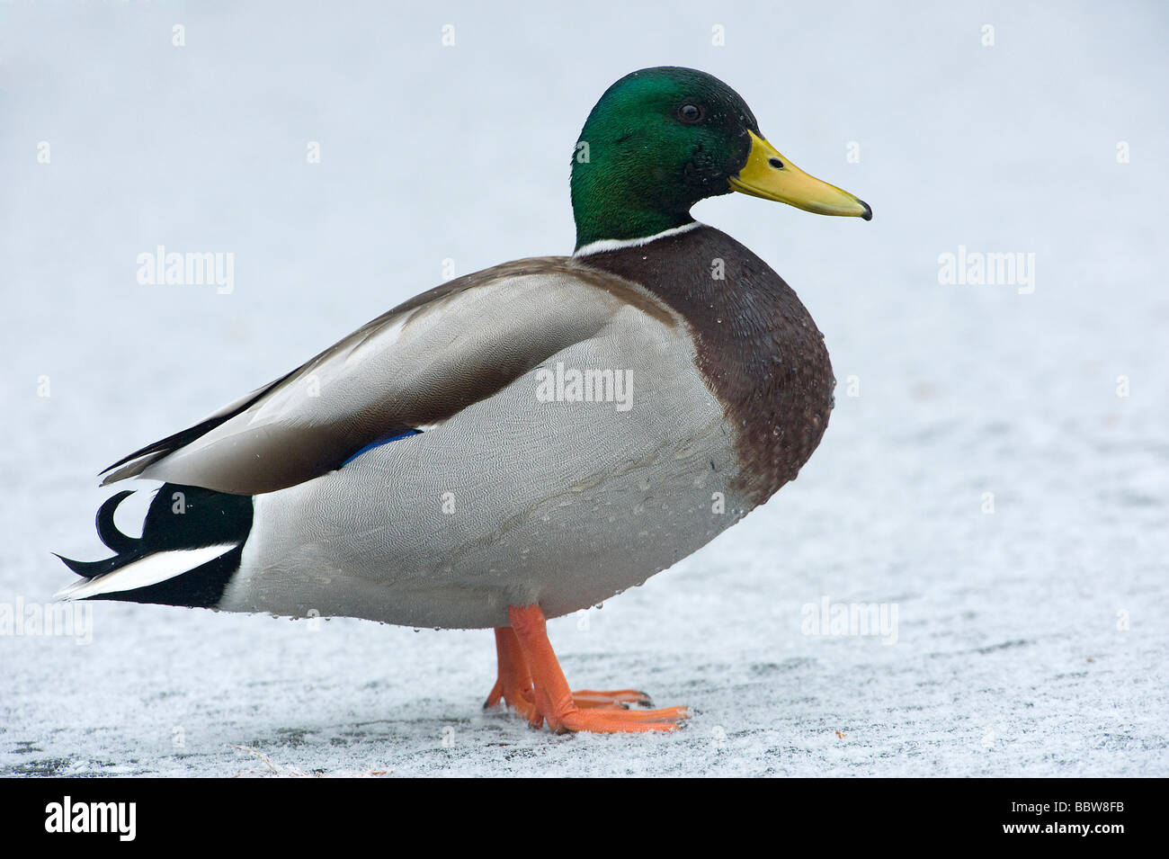 Mallard Anas platyrhynchos drake on snow covered frozen lake - Stock Image