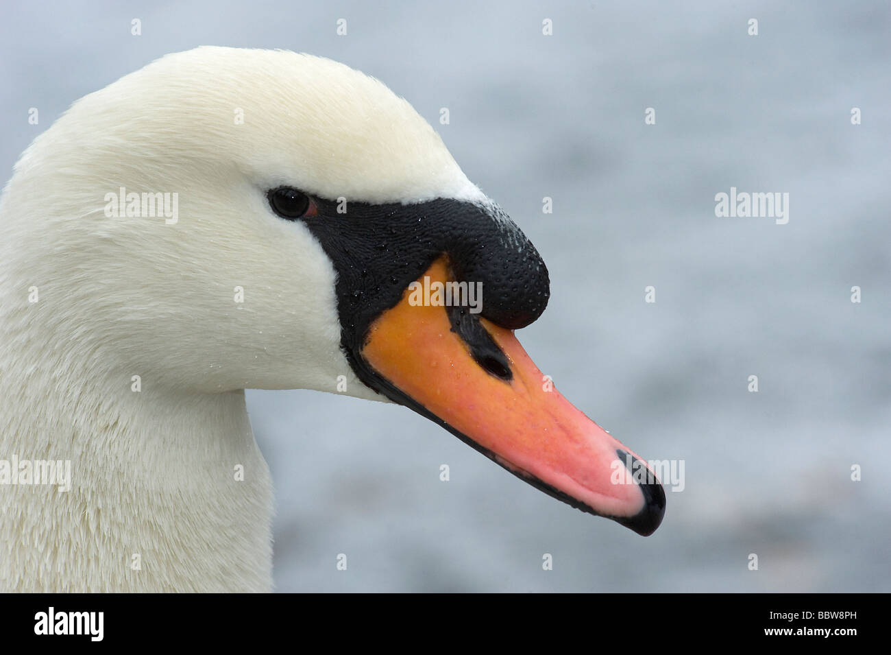Male mute swan Cygnus olor is known as a cob and has a more prominant black knob above the bill then the female - Stock Image