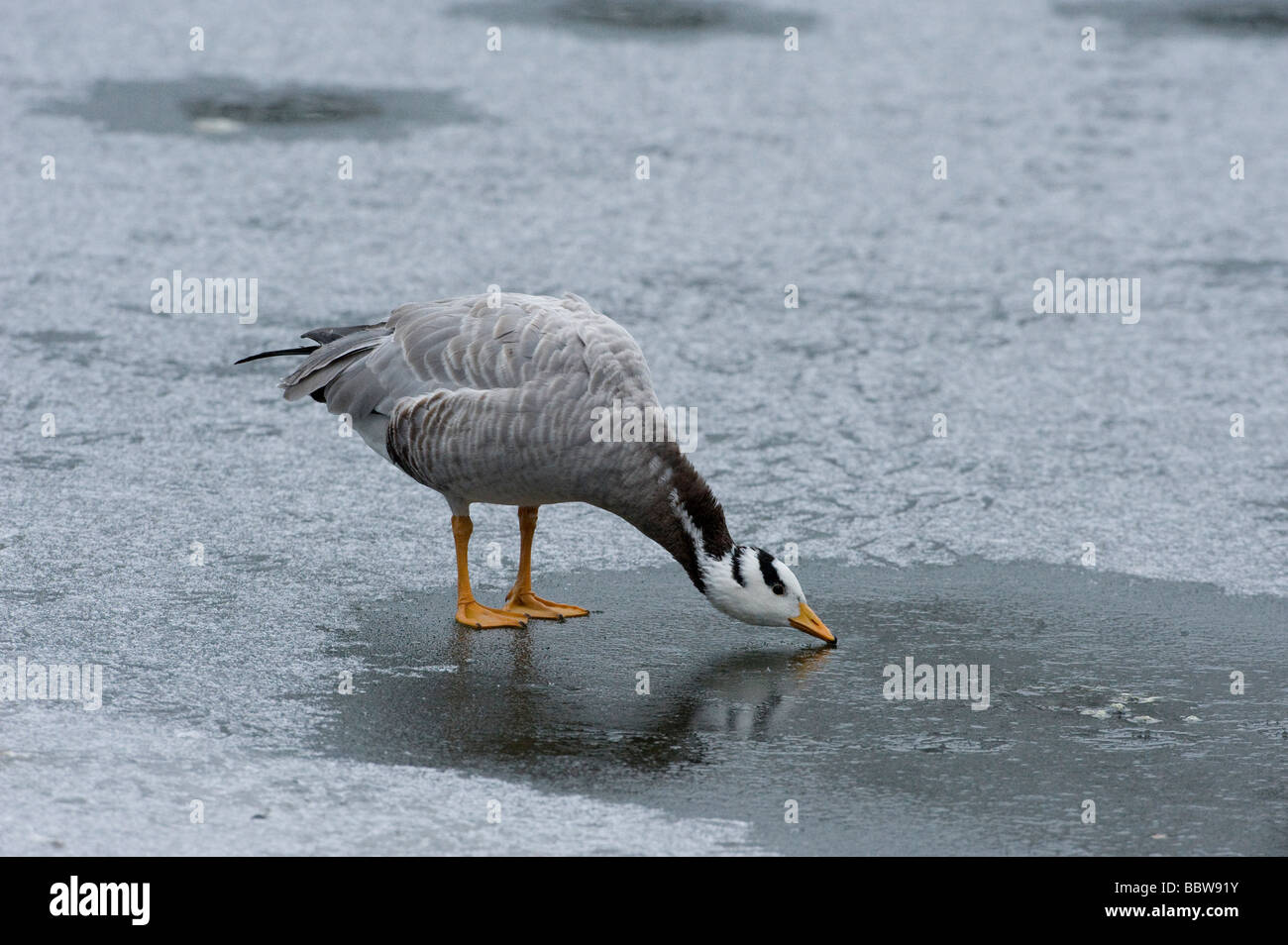 Bar headeed goose Anser indicus attempts to drink from iced pond - Stock Image