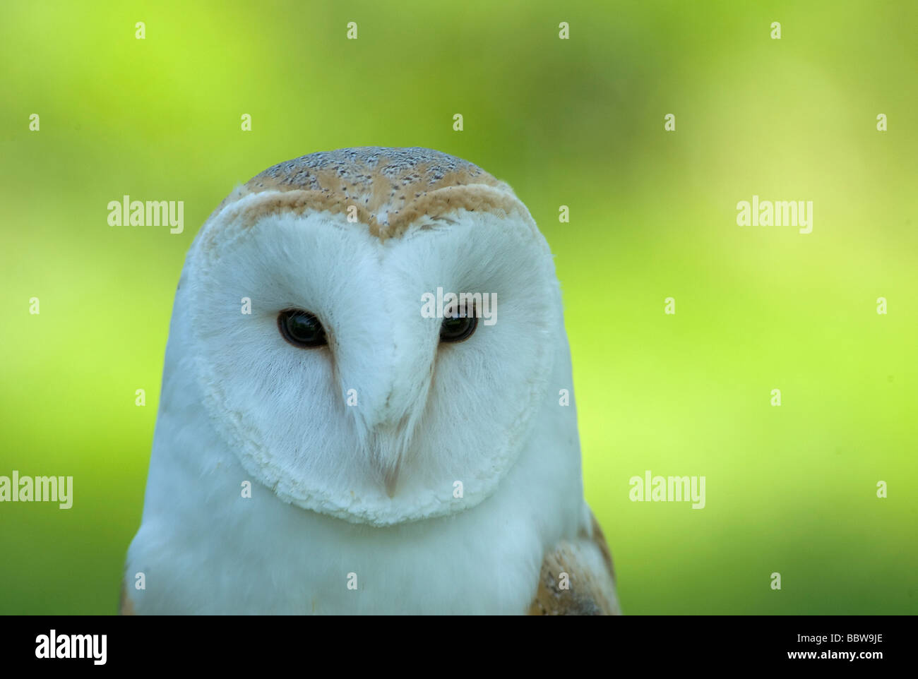 Barn owl Tyto alba facial disc showing eye and beak - Stock Image