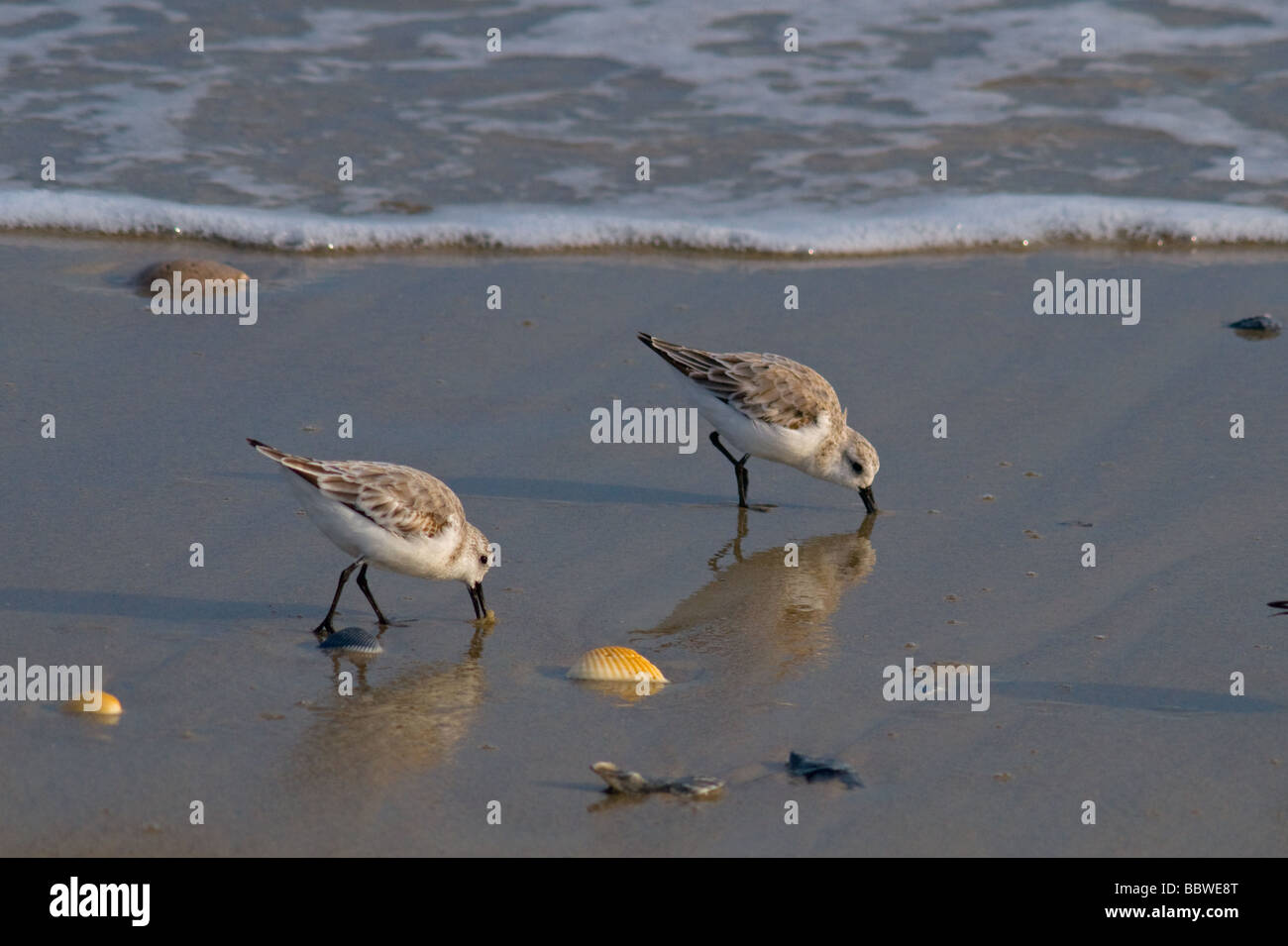 Shore birds in North Carolina - Stock Image