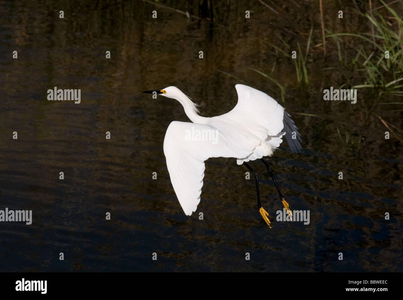White Egret in flight - Stock Image