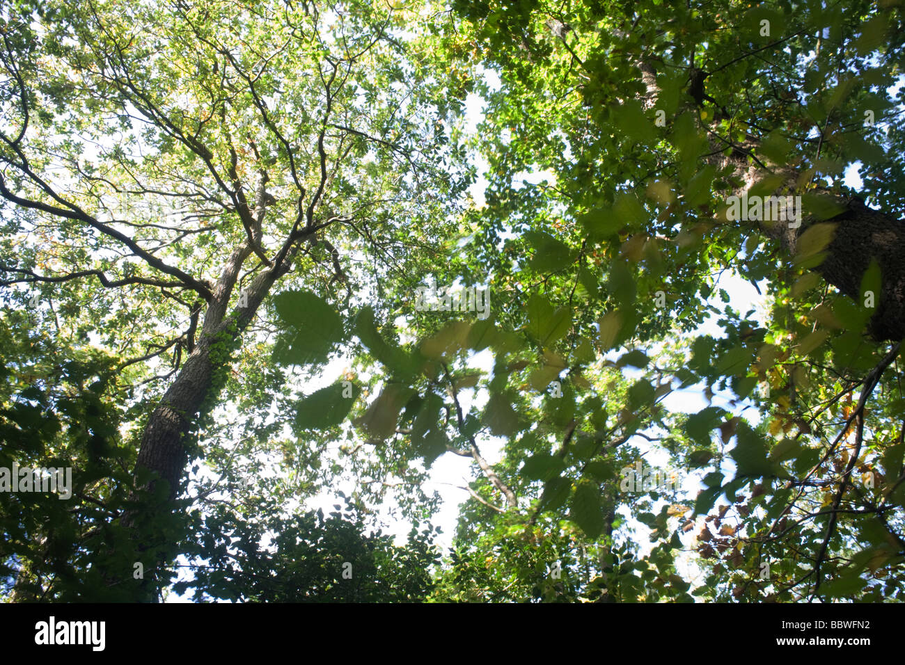 Summer sunlight filters through the old boughs and green foliage of swaying oak trees in the ancient forest of Sydenham - Stock Image