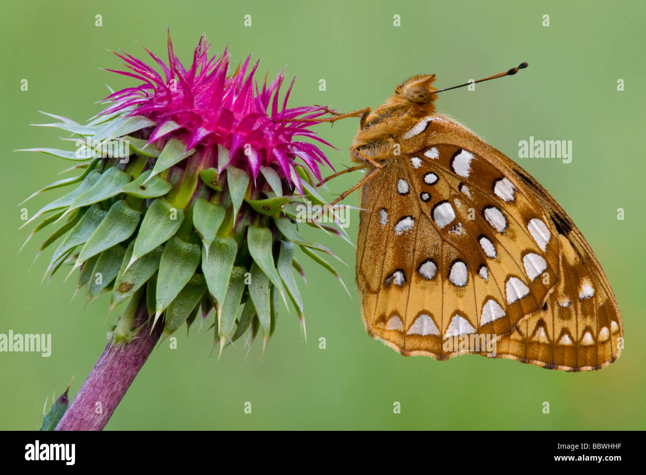 Aphrodite Fritillary Speyeria aphrodite on Nodding Thistle Eastern USA by Skip Moody/Dembinsky Photo Assoc Stock Photo