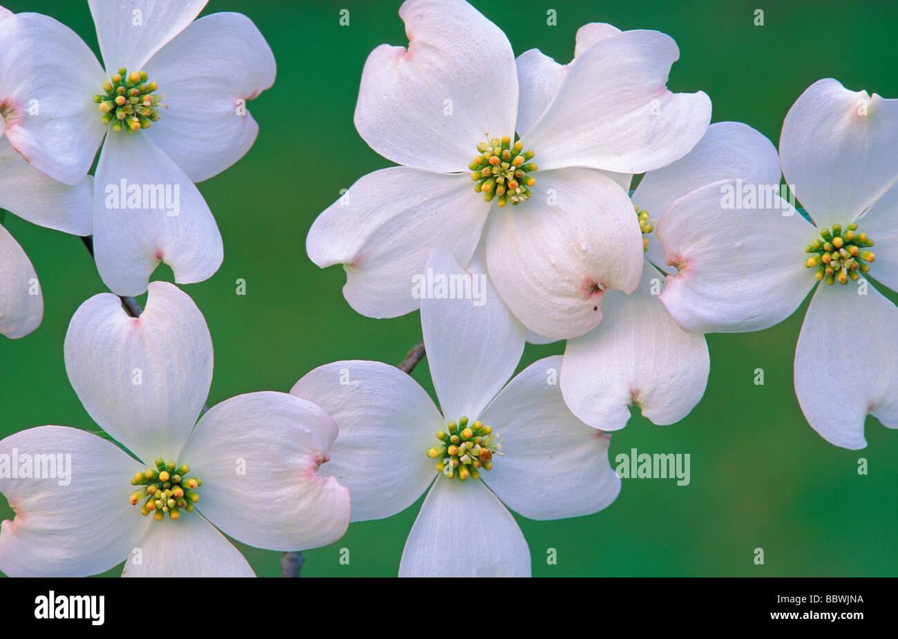 Flowering Dogwood Cornus florida Flowers Eastern USA - Stock Image