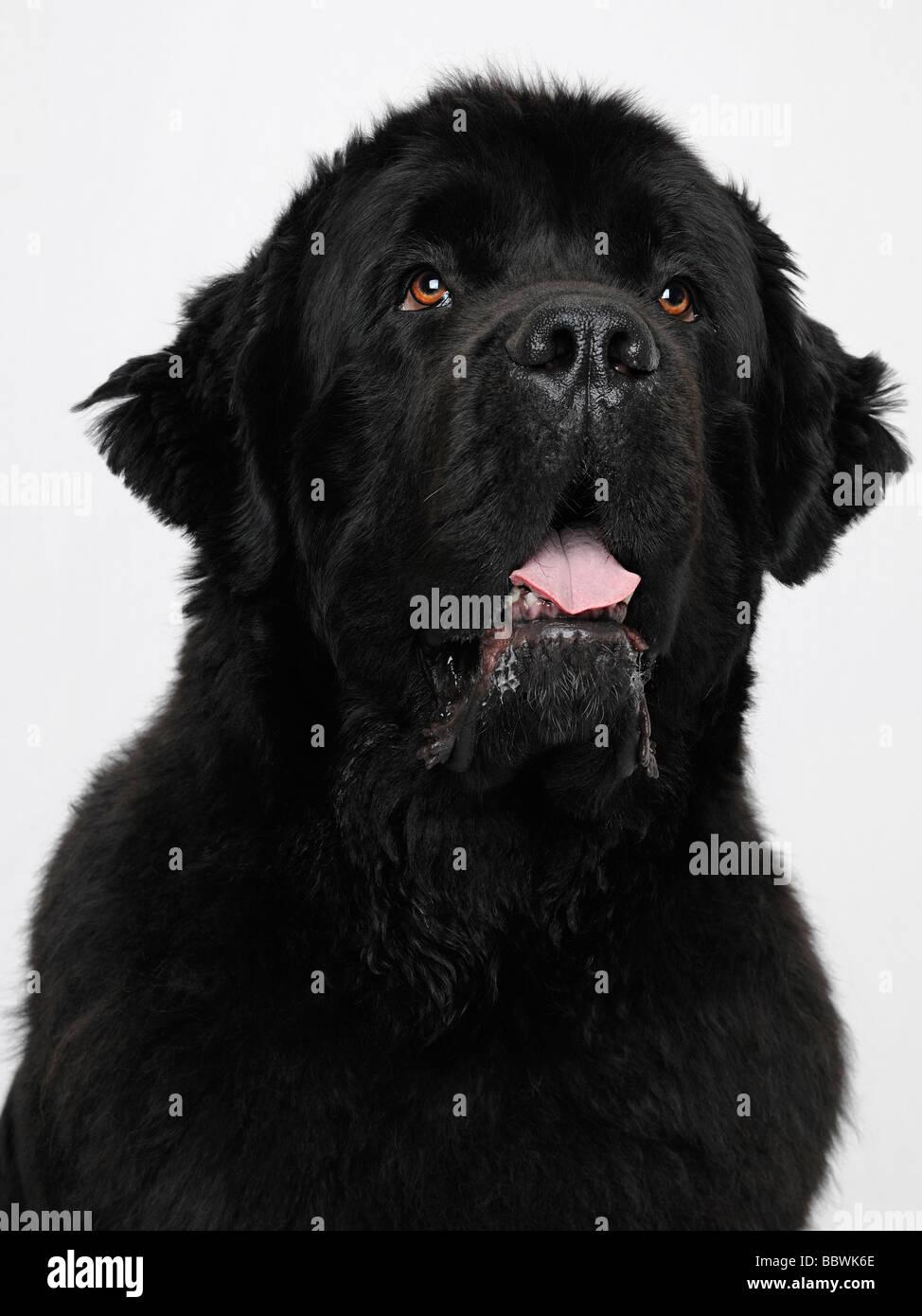 Newfoundland Dog Close Up - Stock Image
