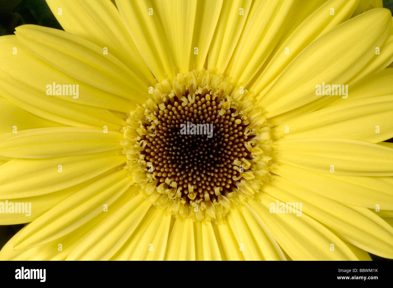 Yellow Gerbera composite flower with disc and ray florets - Stock Image