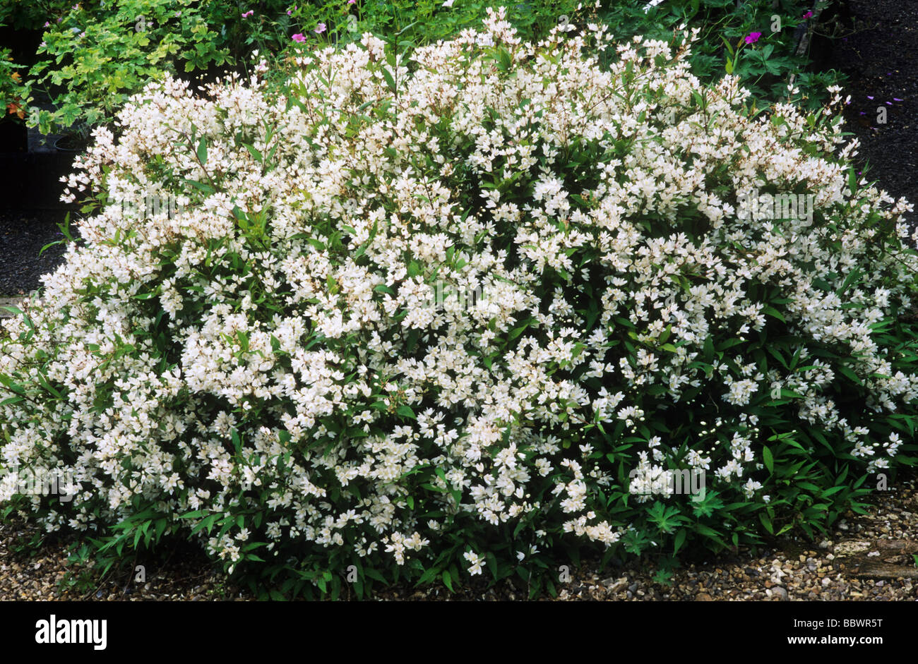 Deutzia gracilis nikko white flower flowers garden plant plants deutzia gracilis nikko white flower flowers garden plant plants mightylinksfo