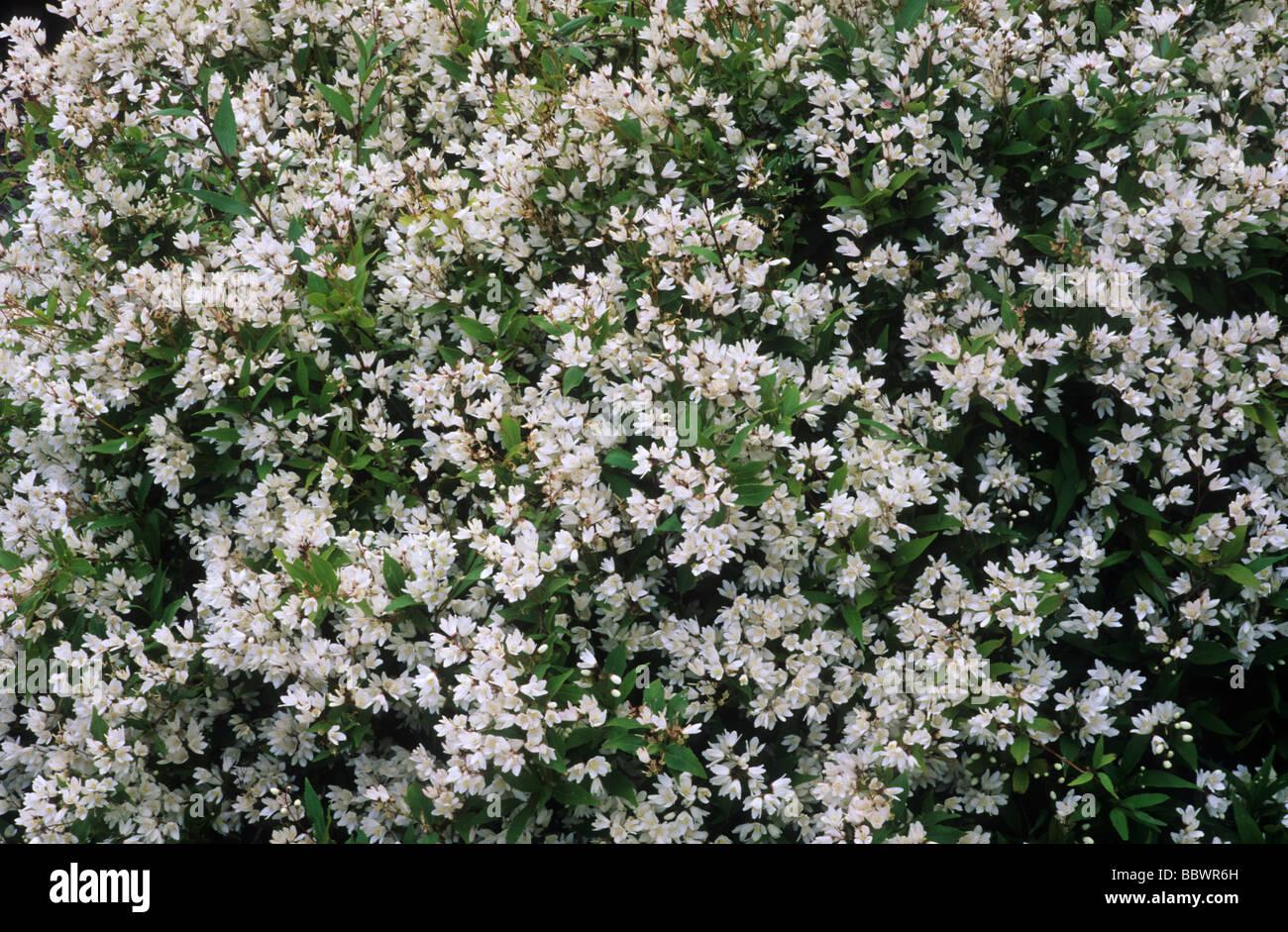 Deutzia gracilis nikko white flower stock photos deutzia gracilis deutzia gracilis nikko white flower flowers garden plant plants stock image mightylinksfo