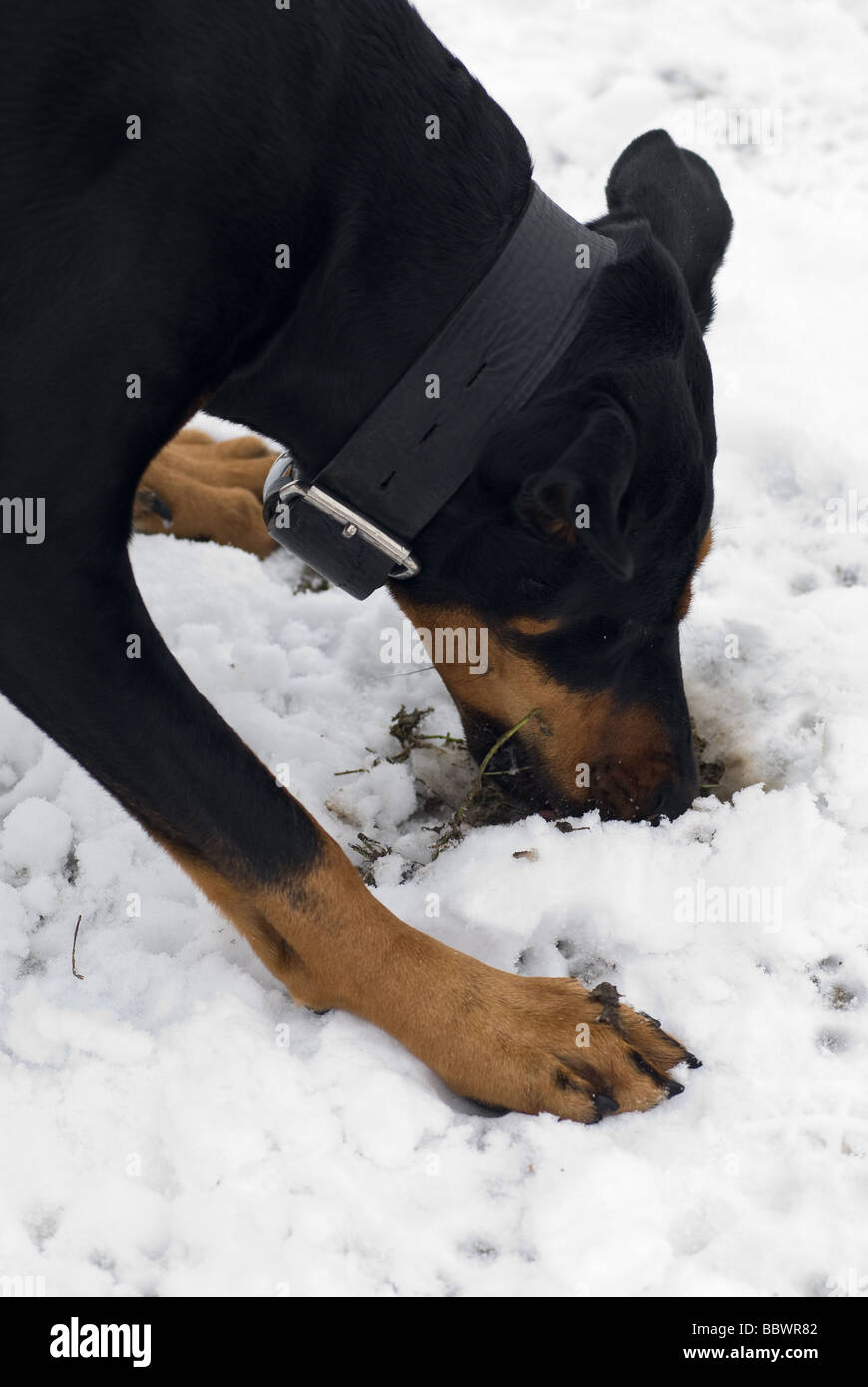 a black doberman dog digging for grass roots on a snowy background - Stock Image