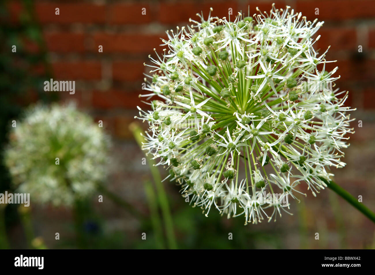 Beautiful summer garden scene in horizontal landscape format containing white bulbous flowers with fine focus and - Stock Image