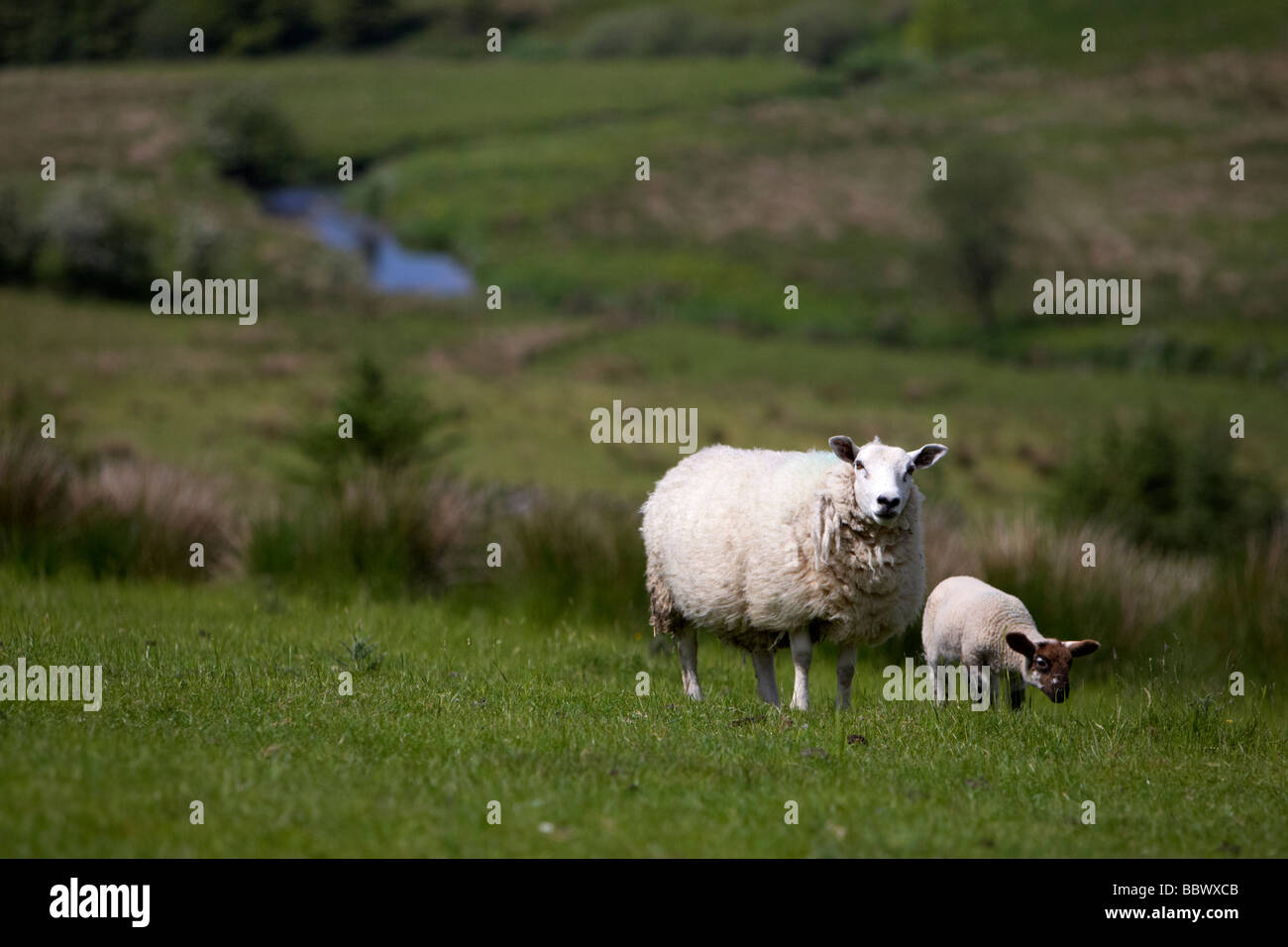 ewe and lamb in remote hillside river valley in county tyrone northern ireland uk europe - Stock Image