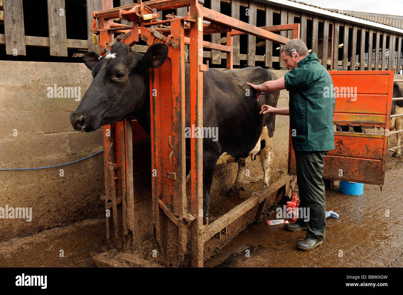 Veterinary surgeon examines a heifer cow in a cattle crush - Stock Image